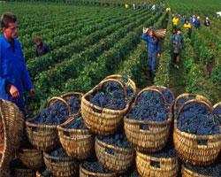 Греки – первые европейские виноделы