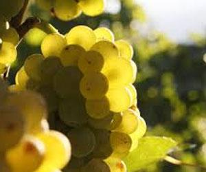 Вино Пино-нуар в Швейцарии хоть и произведут, но не в таком большом количестве, как хотелось бы
