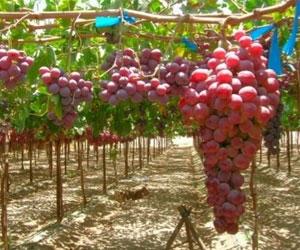 Ростовское вино будут поддерживать на государственном уровне