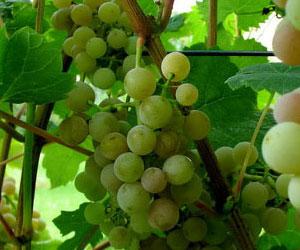 Вино из винограда Лидия и Изабелла запретили!